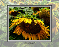 pl-0019 Sunflowers Framed
