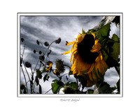 pl-0022 Oregon Sunflowers